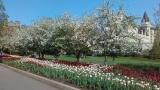 Tulips Festival - VoiceOasis image