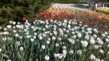 Tulips - VoiceOasis image