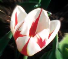 The Canada 150th Tulip Theme