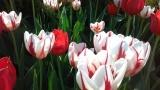Tulips - Canadian Tulip Festival 2016 - Major's Hill Park