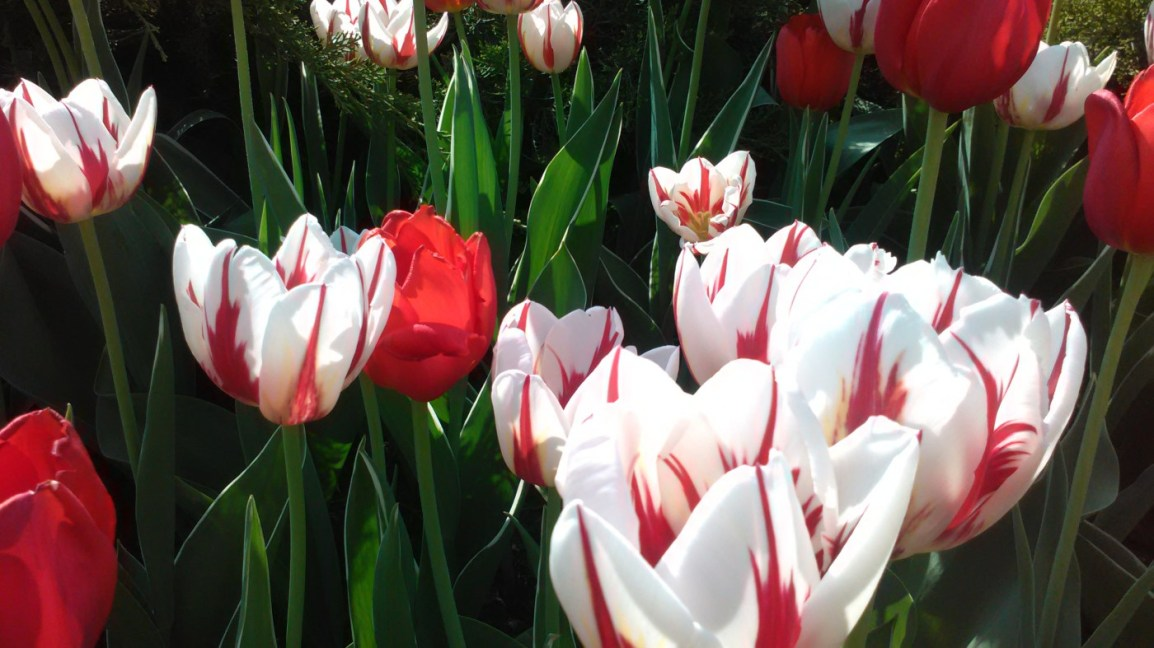 The 2016 Canadian Tulip Festival: Lesson learned for a more culturally diversenation